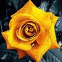 Golden Rose (10 Semillas)