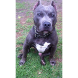 Pitbull Terrier Americano Blue Para Cruza