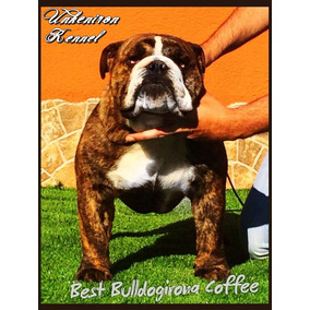Bulldog Ingles Importado Para Servicio De Stud