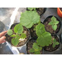 Kiri Plantin Pawlonia Tomentosa En Maceta 8