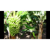 1 Platano Dominico - Platano Macho, Banana Planta Arbolitos