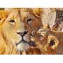 Felinos Animaleas Leon En Bastidor 80x60 Cm Exelente Calidad