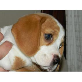 Excelentes Cachorros Beagles 13 Fca, Tricolor Y Bicolor