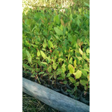 Plantin Eucalyptus