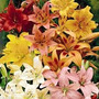 Lilium 5 Bulbos Colores