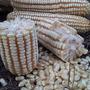 Semilla De Maíz Híbrido Para Grano Ksg-105 60 Mil Semillas