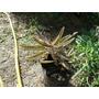 Planta Kalanchoe Daigremontiana Amplias Propiedades