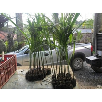 Mudas Palmeira Imperial 1,2mt De Altura Kit 8 Mudas