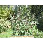 Semillas Plantas Flores Jardin (jamaica) Paquetico 120 Uds.