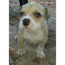 Vendo Cachorros Pitbull Blue