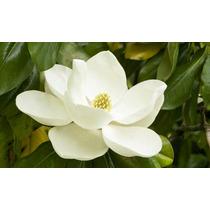 Arbol De Magnolia (flor Blanca)