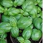 1 Lb Semillas Chenopodium Ambrosioides - Epazote Cod. 205-a