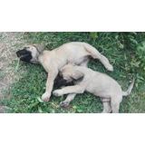 Cachorros Mastin Ingles