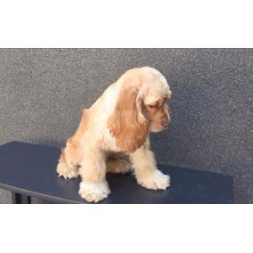 Cachorro Cocker Spaniel Americano Miel Maxima Calidad