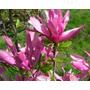 Magnolia Arbustos Florales Místicos Medicinales
