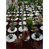Cactus Y Crasas De Cultivo Propio En Maceta N° 9 C/piedritas