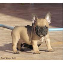 Bulldog Frances Macho Fulvo Gen Blue Lindo Top Pedigree Cbkc