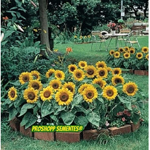 15 Sementes Do Mini Girassol De Jardim Vasos Baby Anao
