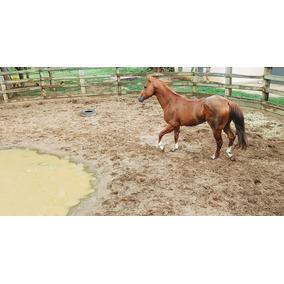 Cavalo Quarto De Milha Garanhão