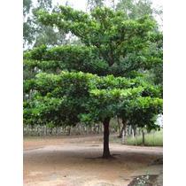 10 Sementes Da Bela Árvore Amendoeira Sete Copas