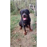 Criadero Mis Retoños: Cachorros Rottweiler 60 Días