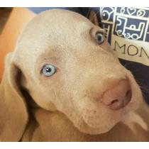 Weimaraner Cachorros De Excelencia! C/pedigree