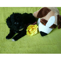 Poodle Micro Toy Preto