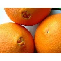 Frutales: Naranja Navel Grande Jugosa Injerto