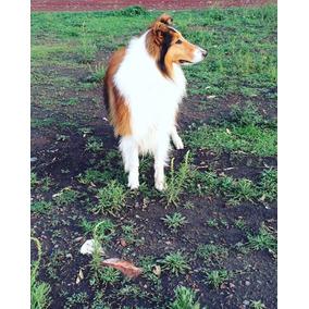 Cachorros Collie (lasi)