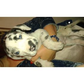 Perros Cachorros Gran Danes