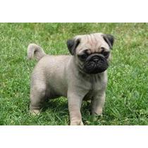 Busco Perro Pug En Adopción