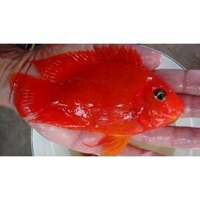 Peixe Papagaio King Kong 10 A 12 Cm