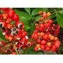 20 Sementes Do Exotico Guaranado Amazonas Para Plantio