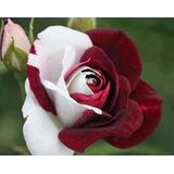 100sementes De Rosas Vinho Raras Exóticas Pra Fazer Mudas