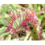 Droseras Capensis 50 Semillas De Plantas Carnivoras