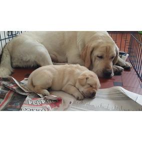 Filhotes De Labrador (padrão Da Raça)