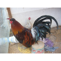 Se Vende Gallo Semental