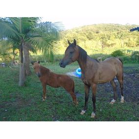 Cavalo Árabe Pré Registrado Abcca,