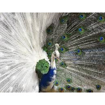 Guia Do Criador Digital - Como Criar Pavão Aves Ornamentais