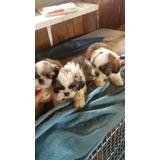 Shitzu Mini Miniaturas Cachorros Tricolor Bicolor Chitzu