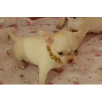 Chihuahua Hembra Micro Mini Mini !!!