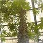 Semillas De Ceiba Pentandra