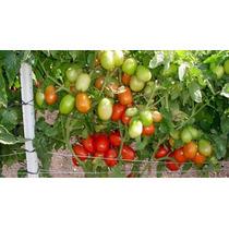 Semilla De Tomate Hibrido Determinado Sultán F1 Mil Semillas