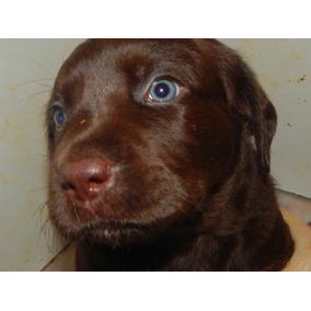 Labradores Retriever Cachorros Chocolates Criadero Calquin