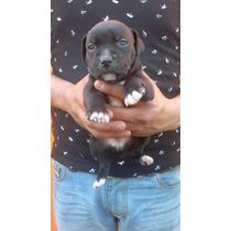 Venta De Cachorros American Pitbull Blue
