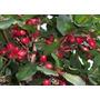 Muda Fruta Do Milagre ( Synsepalum Dulcificum ) - 8 A 20cm