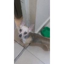 Chihuahua Semental Para Cruza