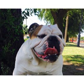 Bulldog Inglés Para Servicio!!!!