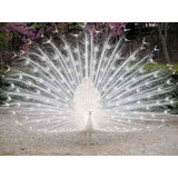 Plumas De Pavo Real Albino Blanco Ideal Pesca Y Decoracion