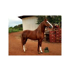 Cavalo Mangalarga Pisador